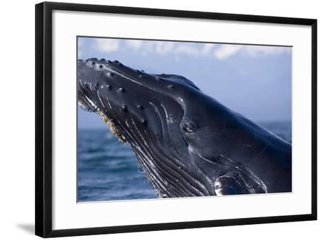 Closeup of Humpback Whale Breaching in Inside Passage with Fairweather Range Southeast Alaska Summe-Design Pics Inc-Framed Art Print