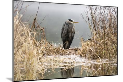 Great Blue Heron Stands in the Reeds at the Edge of Ward Lake in Ketchikan, Alaska During Winter-Design Pics Inc-Mounted Photographic Print