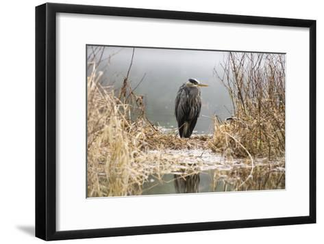 Great Blue Heron Stands in the Reeds at the Edge of Ward Lake in Ketchikan, Alaska During Winter-Design Pics Inc-Framed Art Print