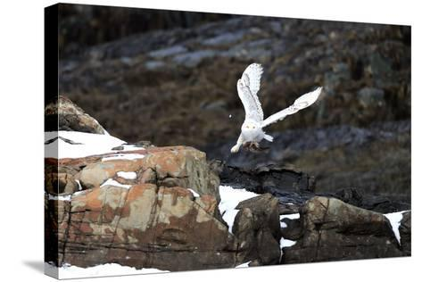A Snowy Owl, Bubo Scandiacus, Flies over the Maine Coastline with a Meal in its Talons-Robbie George-Stretched Canvas Print