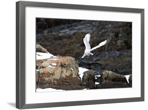 A Snowy Owl, Bubo Scandiacus, Flies over the Maine Coastline with a Meal in its Talons-Robbie George-Framed Art Print