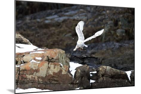 A Snowy Owl, Bubo Scandiacus, Flies over the Maine Coastline with a Meal in its Talons-Robbie George-Mounted Photographic Print