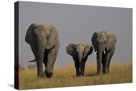 Elephant Herd Walking in Northern Botswana-Beverly Joubert-Stretched Canvas Print