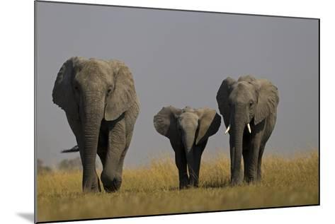 Elephant Herd Walking in Northern Botswana-Beverly Joubert-Mounted Photographic Print