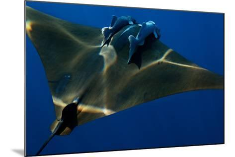 A Mobula Ray with Two Remora-Like Fish Swimming over the Gamelas Seamount-Luis Lamar-Mounted Photographic Print