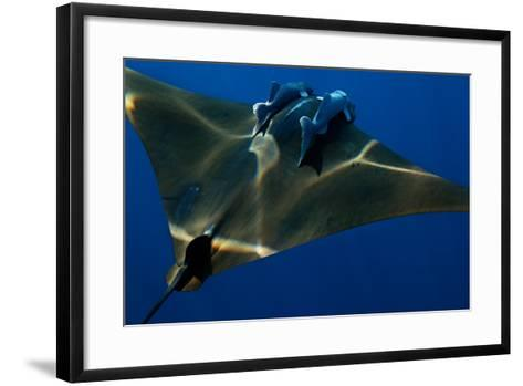A Mobula Ray with Two Remora-Like Fish Swimming over the Gamelas Seamount-Luis Lamar-Framed Art Print