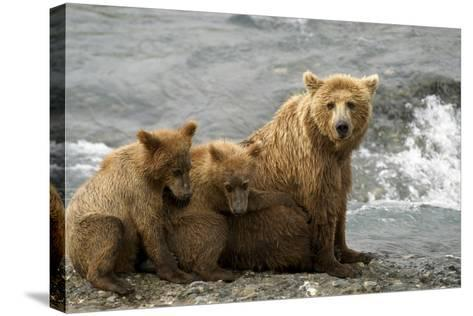Mother Grizzly with 2nd Year Cubs by River Sw Ak Summer Mcneil State Game Sanctuary-Design Pics Inc-Stretched Canvas Print
