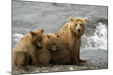 Mother Grizzly with 2nd Year Cubs by River Sw Ak Summer Mcneil State Game Sanctuary-Design Pics Inc-Mounted Photographic Print