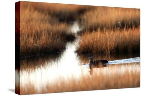 An American Black Duck, Anas Rubripes, Swims Through a Marsh at Sunset-Robbie George-Stretched Canvas Print