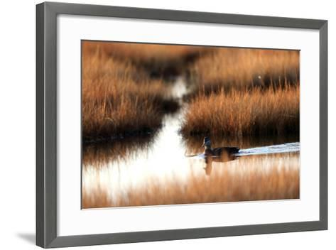 An American Black Duck, Anas Rubripes, Swims Through a Marsh at Sunset-Robbie George-Framed Art Print