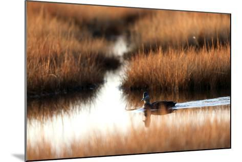 An American Black Duck, Anas Rubripes, Swims Through a Marsh at Sunset-Robbie George-Mounted Photographic Print