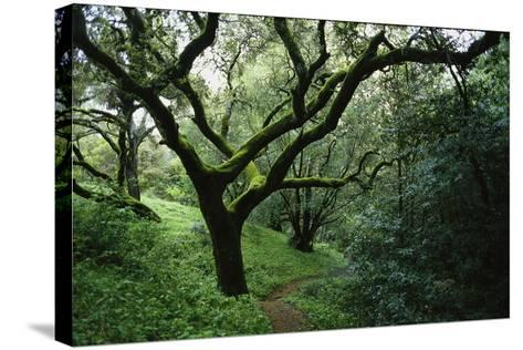 Mossy Trees on Devil's Gulch Trail in Samuel P. Taylor State Park-Rebecca Hale-Stretched Canvas Print