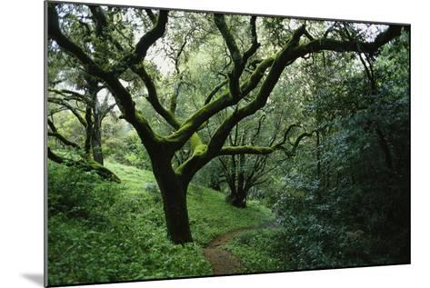 Mossy Trees on Devil's Gulch Trail in Samuel P. Taylor State Park-Rebecca Hale-Mounted Photographic Print
