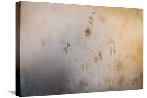 Close View of Grasses, Gap, France-Keith Ladzinski-Stretched Canvas Print