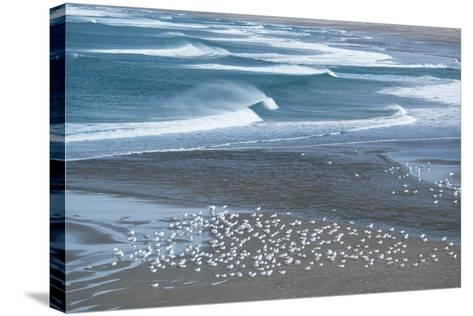 Gulls Rest on the Coastline of Stornetta Public Lands North of the Town of Point Arena-Michael Melford-Stretched Canvas Print
