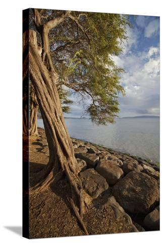 Hawaii, Maui, Kihei, a Kiawe Tree at Sunset-Design Pics Inc-Stretched Canvas Print