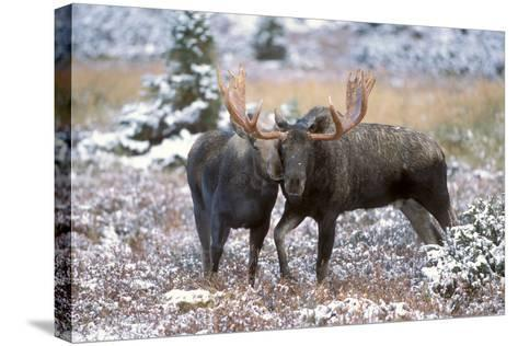 Moose Bull and Cow Rubbing Muzzles in Courtship Behavior During Rut-Design Pics Inc-Stretched Canvas Print
