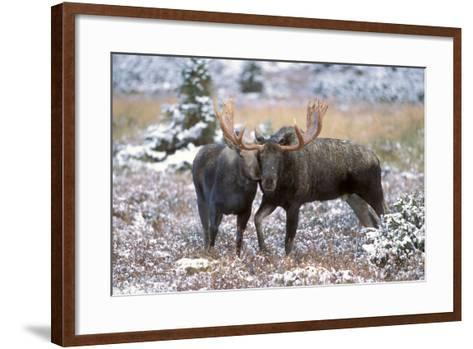 Moose Bull and Cow Rubbing Muzzles in Courtship Behavior During Rut-Design Pics Inc-Framed Art Print