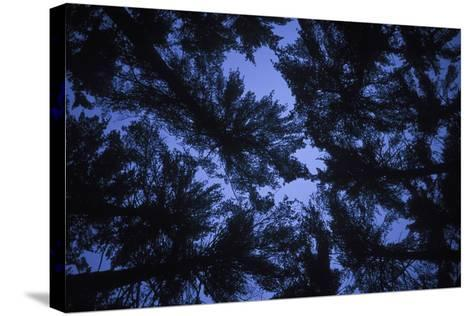 Pine Trees, Seen from Below-Rebecca Hale-Stretched Canvas Print