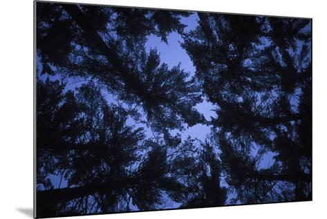 Pine Trees, Seen from Below-Rebecca Hale-Mounted Photographic Print