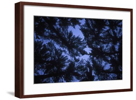 Pine Trees, Seen from Below-Rebecca Hale-Framed Art Print