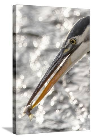 Close Up Portrait of a Great Blue Heron, Ardea Herodias, with a Small Fish in its Bill-Kent Kobersteen-Stretched Canvas Print