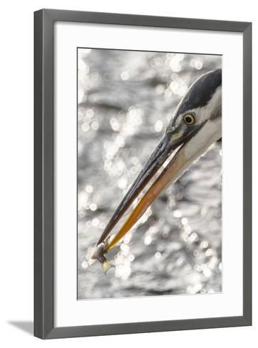 Close Up Portrait of a Great Blue Heron, Ardea Herodias, with a Small Fish in its Bill-Kent Kobersteen-Framed Art Print
