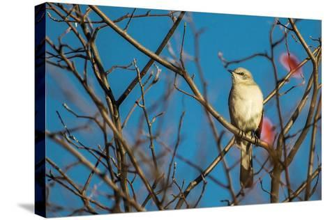Portrait of a Northern Mockingbird, Mimus Polyglottos, Perched in a Tree Top-Kent Kobersteen-Stretched Canvas Print