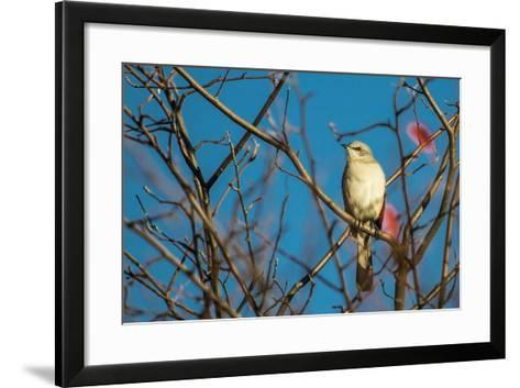 Portrait of a Northern Mockingbird, Mimus Polyglottos, Perched in a Tree Top-Kent Kobersteen-Framed Art Print