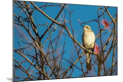Portrait of a Northern Mockingbird, Mimus Polyglottos, Perched in a Tree Top-Kent Kobersteen-Mounted Photographic Print