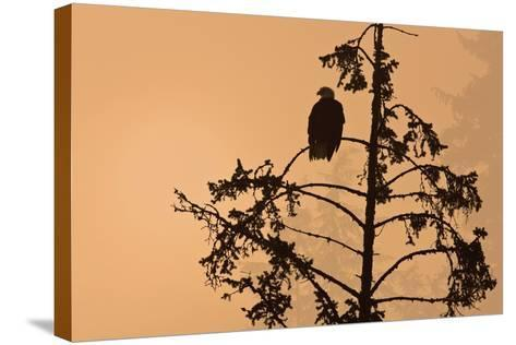 Silhouette of a Bald Eagle Perched on a Tree at Sunset in the Mist of the Tongass National Forest-Design Pics Inc-Stretched Canvas Print