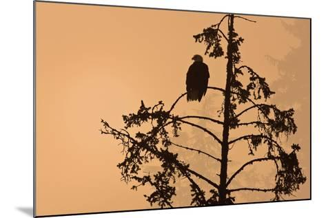 Silhouette of a Bald Eagle Perched on a Tree at Sunset in the Mist of the Tongass National Forest-Design Pics Inc-Mounted Photographic Print