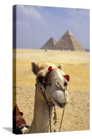 Close-Up on a Camel Looking at the Camera with Pyramids in the Background, Giza, Egypt; Giza, Egypt-Design Pics Inc-Stretched Canvas Print