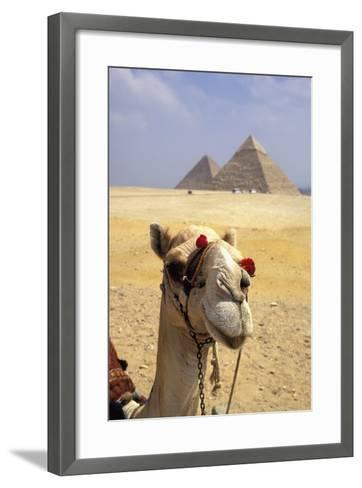 Close-Up on a Camel Looking at the Camera with Pyramids in the Background, Giza, Egypt; Giza, Egypt-Design Pics Inc-Framed Art Print