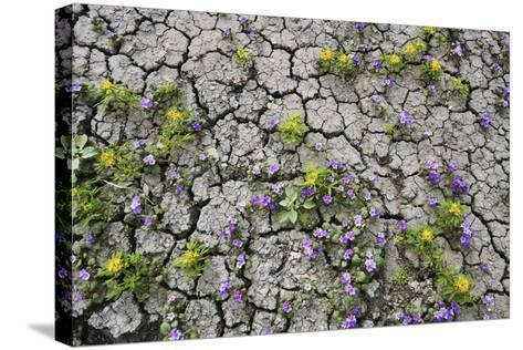 Wildflowers Growing in Cracked Soil, Capitol Reef National Park, Utah-Keith Ladzinski-Stretched Canvas Print
