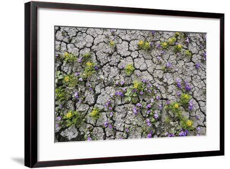 Wildflowers Growing in Cracked Soil, Capitol Reef National Park, Utah-Keith Ladzinski-Framed Art Print