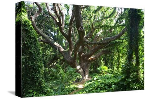 Hawaii, Maui, Honolua, a Tree Surrounded by Lush Green Vines-Design Pics Inc-Stretched Canvas Print