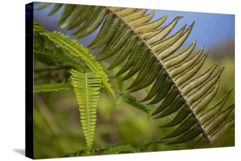 Hawaii, Maui, Waihee, a Closeup of Green Fern with Seeds-Design Pics Inc-Stretched Canvas Print