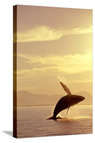 Humpback Whale Breaching in Inside Passage Se Ak Summer Backlit-Design Pics Inc-Stretched Canvas Print