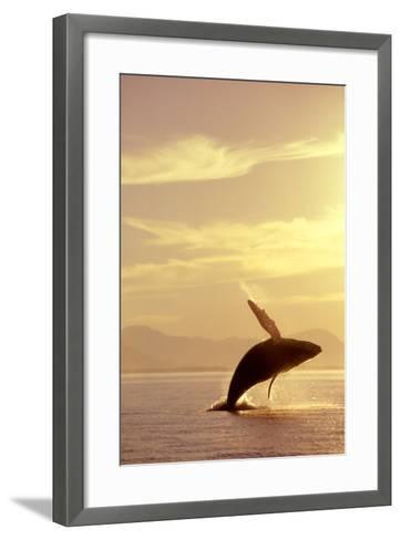 Humpback Whale Breaching in Inside Passage Se Ak Summer Backlit-Design Pics Inc-Framed Art Print
