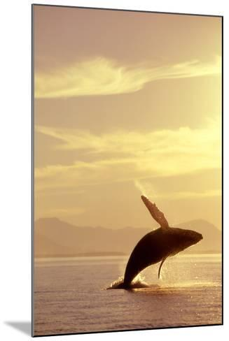Humpback Whale Breaching in Inside Passage Se Ak Summer Backlit-Design Pics Inc-Mounted Photographic Print