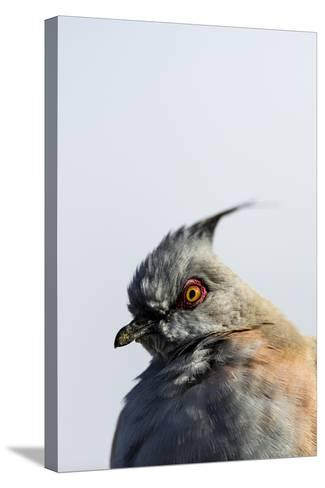 A Crested Pigeon, Ocyphaps Lophotes, Fluffs its Feathers to Stay Warm on a Cold Desert Morning-Jason Edwards-Stretched Canvas Print