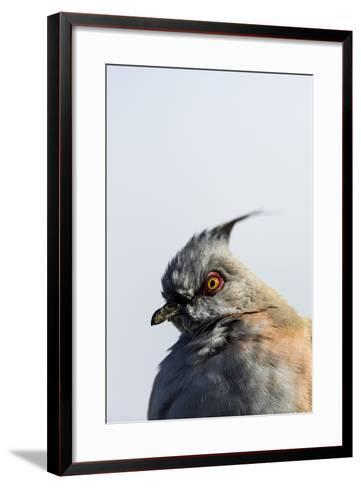 A Crested Pigeon, Ocyphaps Lophotes, Fluffs its Feathers to Stay Warm on a Cold Desert Morning-Jason Edwards-Framed Art Print