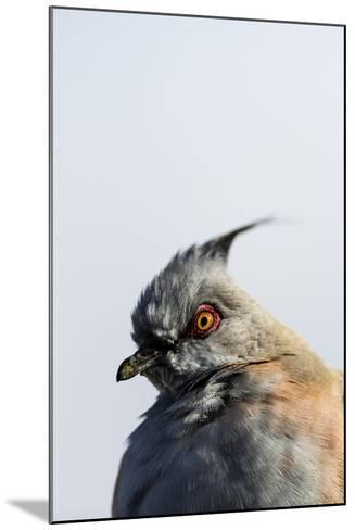 A Crested Pigeon, Ocyphaps Lophotes, Fluffs its Feathers to Stay Warm on a Cold Desert Morning-Jason Edwards-Mounted Photographic Print