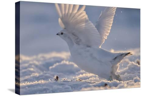 A Ptarmigan in its White Winter Plumage, Taking Flight-Peter Mather-Stretched Canvas Print