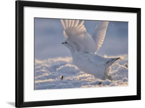 A Ptarmigan in its White Winter Plumage, Taking Flight-Peter Mather-Framed Art Print