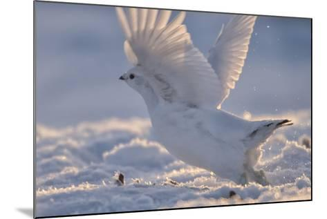 A Ptarmigan in its White Winter Plumage, Taking Flight-Peter Mather-Mounted Photographic Print