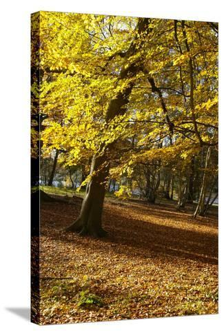 Yellow Leaves on Trees in Forest-Design Pics Inc-Stretched Canvas Print