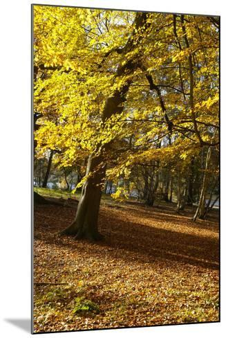 Yellow Leaves on Trees in Forest-Design Pics Inc-Mounted Photographic Print