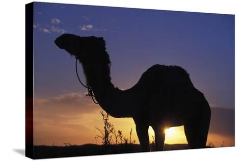 Silhouetted Camel at Sunset-Design Pics Inc-Stretched Canvas Print